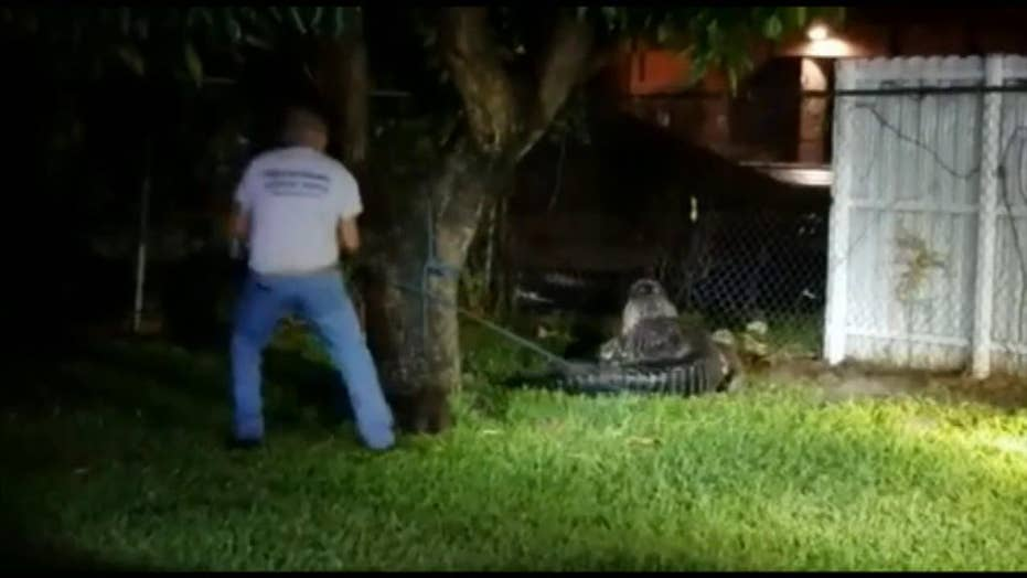 Raw Video: Miami Fire and Rescue wrangle a gator who wandered into a residential yard