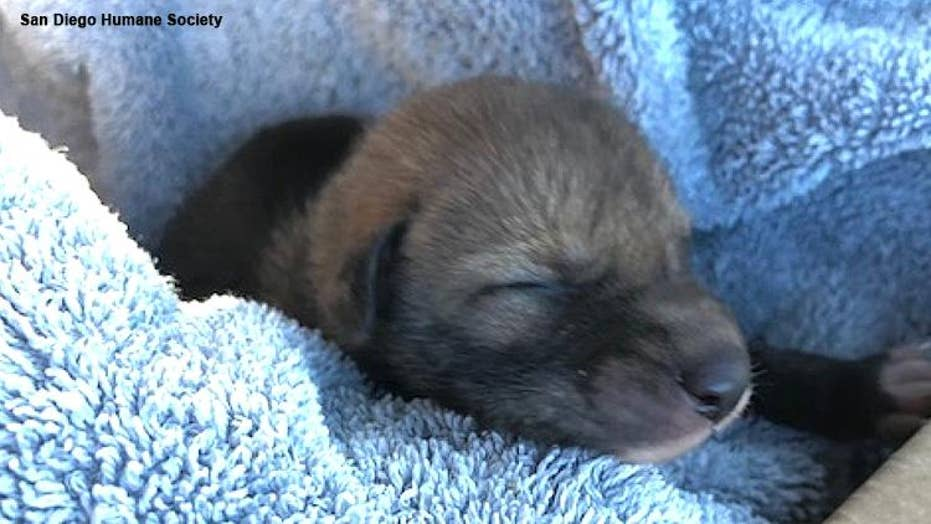 California hiker rescues abandoned 'puppy,' only to discover it's really a baby coyote