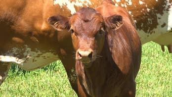 Florida cattle ranchers blame development for dwindling industry