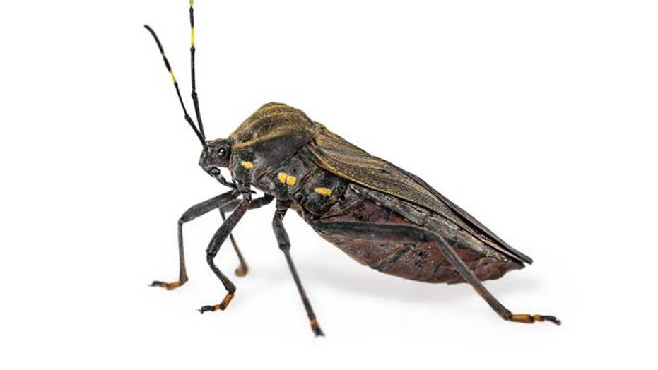 Centers for Disease Control and Prevention: The insect known as the 'kissing bug' has a confirmed sighting in Delaware
