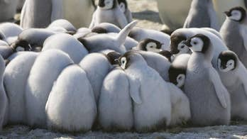 Tragic report reveals thousands of Emperor penguin chicks from Antarctica virtually disappeared overnight