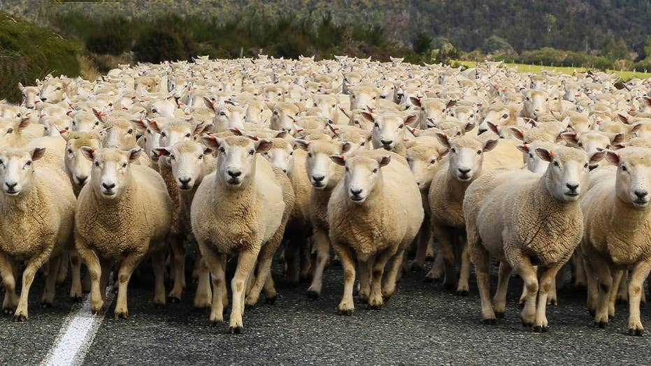 Image result for sheeps