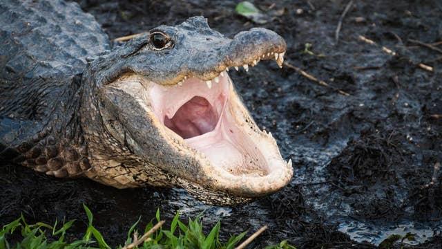 Alligator surprises homeowner, bangs on glass