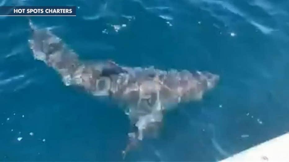 Great white shark surprises Florida charter fishing boat