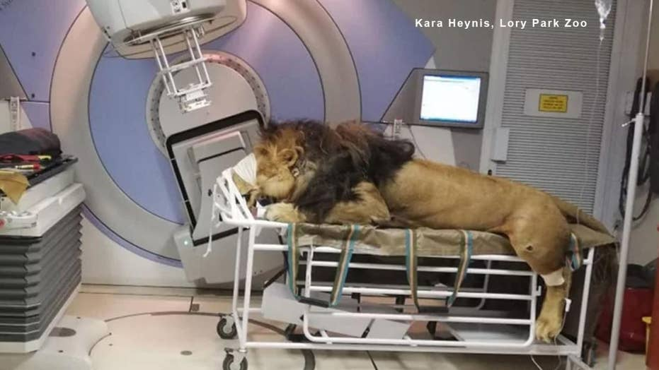 Wild images show a lion undergoing cancer treatment at South African hospital