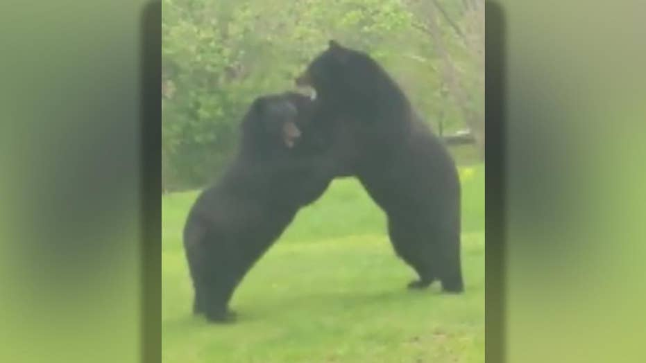 Two bears fight each other in front yard of New Jersey home