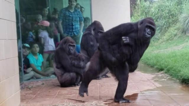 Raw video: Gorillas in a South Carolina zoo take shelter from the rain