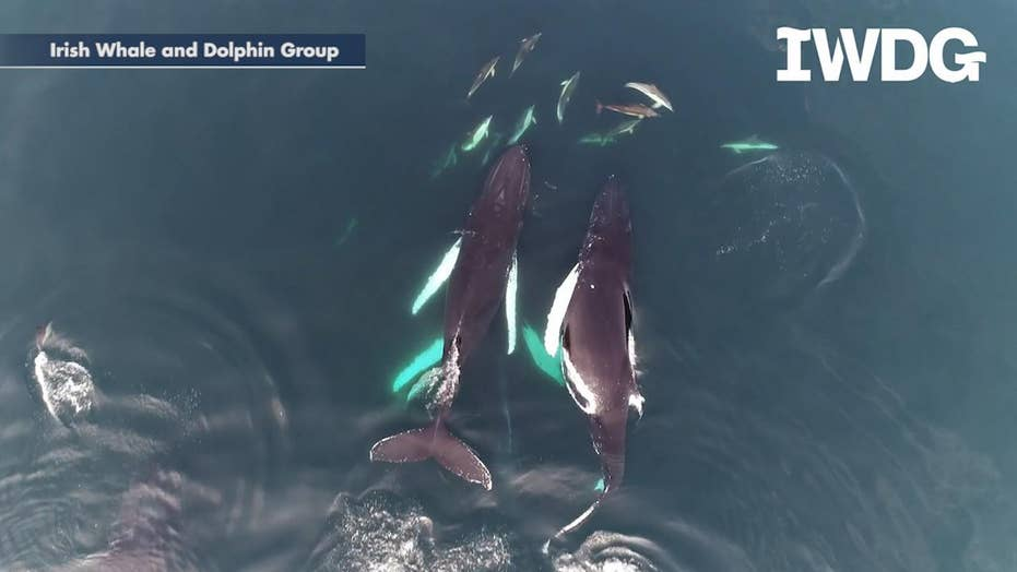 Humpback whales swim with dolphin pod off the coast of Ireland