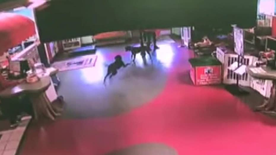 Dog runs over a mile to reunite with buddies at pet daycare facility