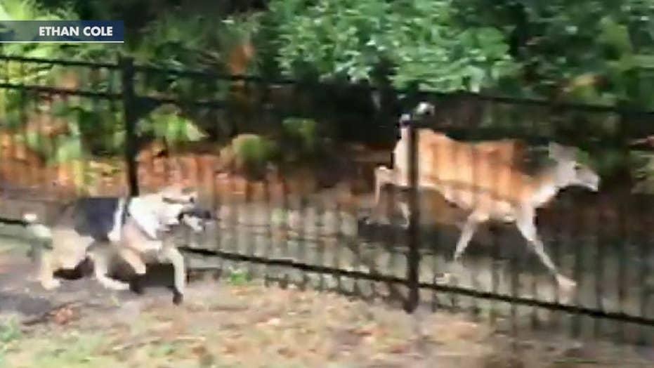 German Shepard plays tab with deer in Florida