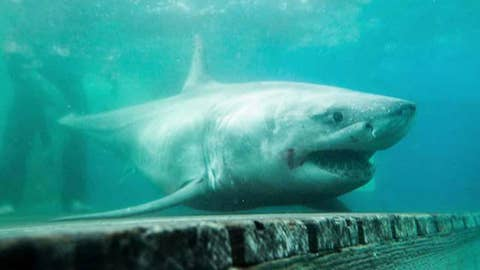 Great white shark tracked to Long Island Sound for first time