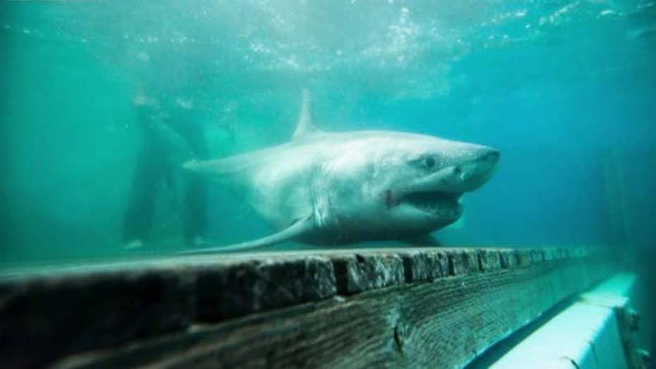 Great white shark tracked in Long Island Sound