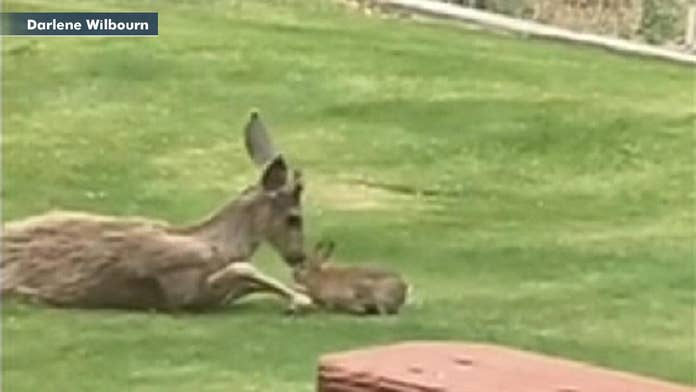 Washington woman captures real-life 'Bambi' moment in cute video