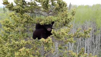 Orphaned bear cubs rescued from huge spruce tree in remarkable video