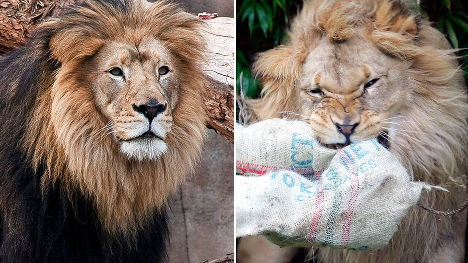 Two beloved African lions die of old age at California zoos
