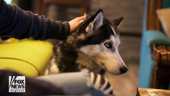 Siberian Husky sniffs out owner's cancer three times
