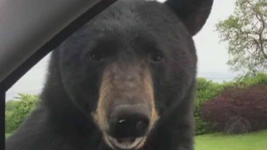 Bear tries to pry open car door while woman hides inside