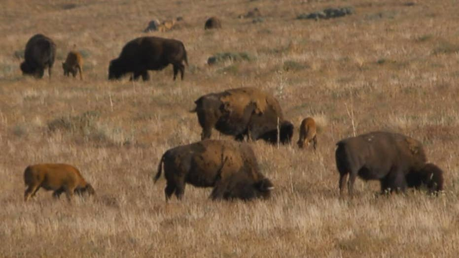 911 calls released from bison attack in Utah