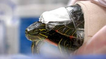 Non-profit works to save turtles injured on Minnesota roadways