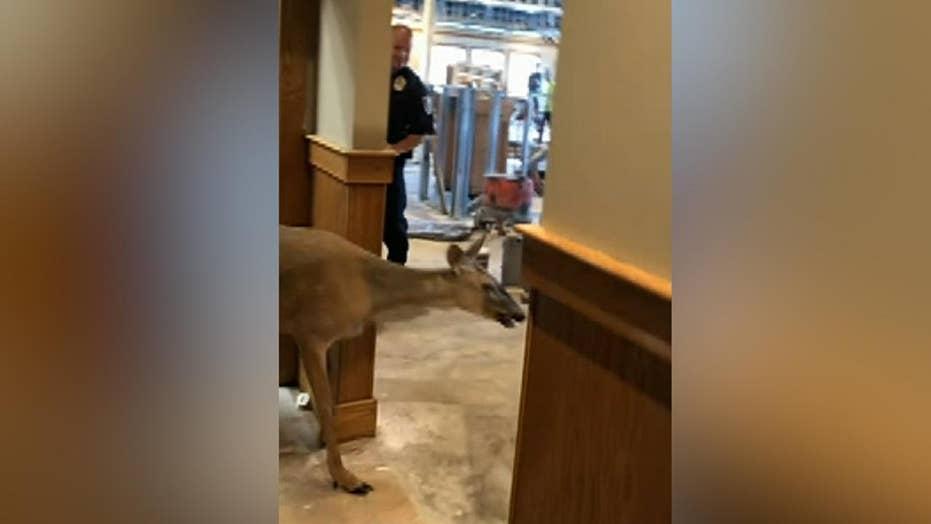 Deer escapes after wandering into restaurant under construction