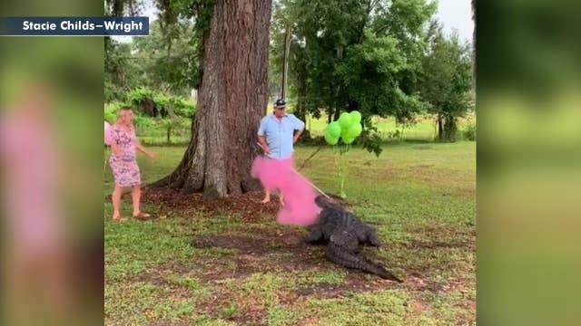Florida couple uses pet alligator in gender reveal