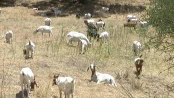 California town deploys goats in fight against wildfires