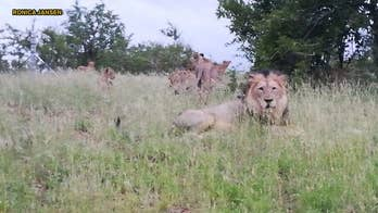 Dozens of lions free to roam free near South African town: 'You don't really go jogging or riding a bicycle here'