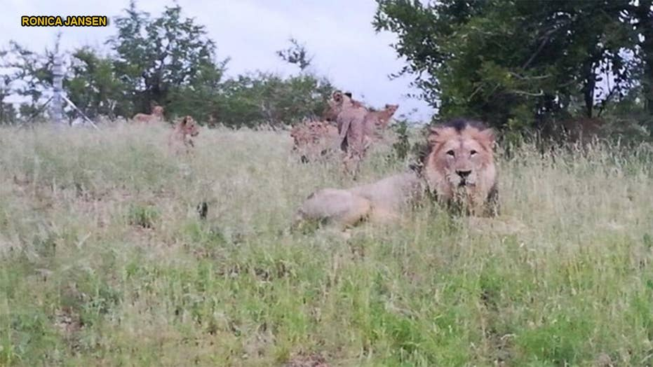 South African authorities allow dozens of lions to roam free in outskirts of town