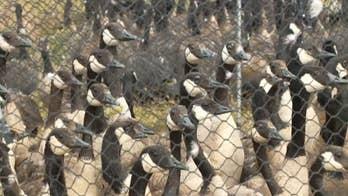 Utah's Department of Natural Resources tracks goose migration