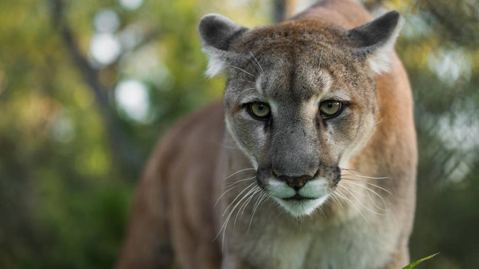 A rise in wildlife sightings prompts mountain lion warning