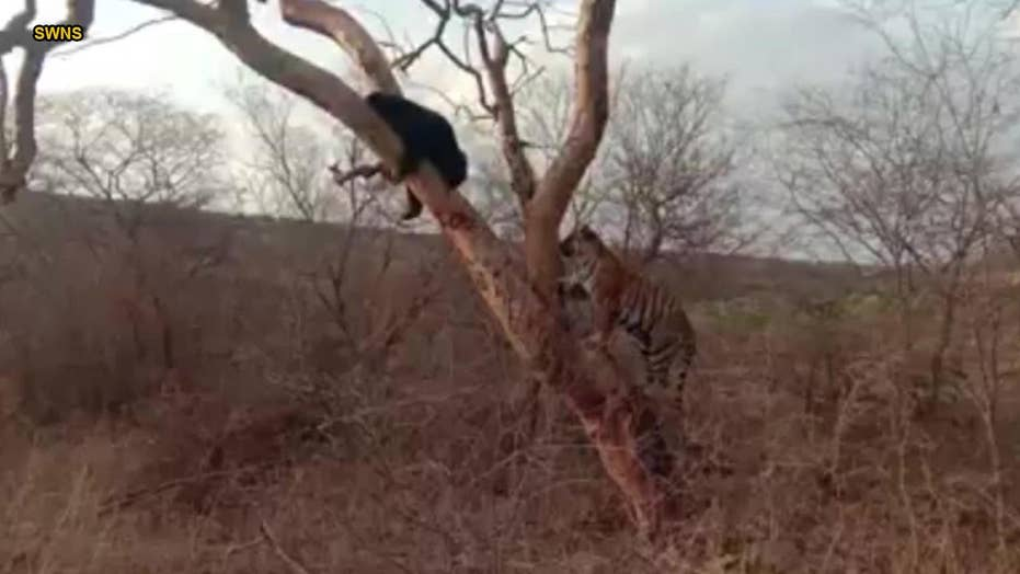 Incredible video shows bear escaping from a hungry tiger