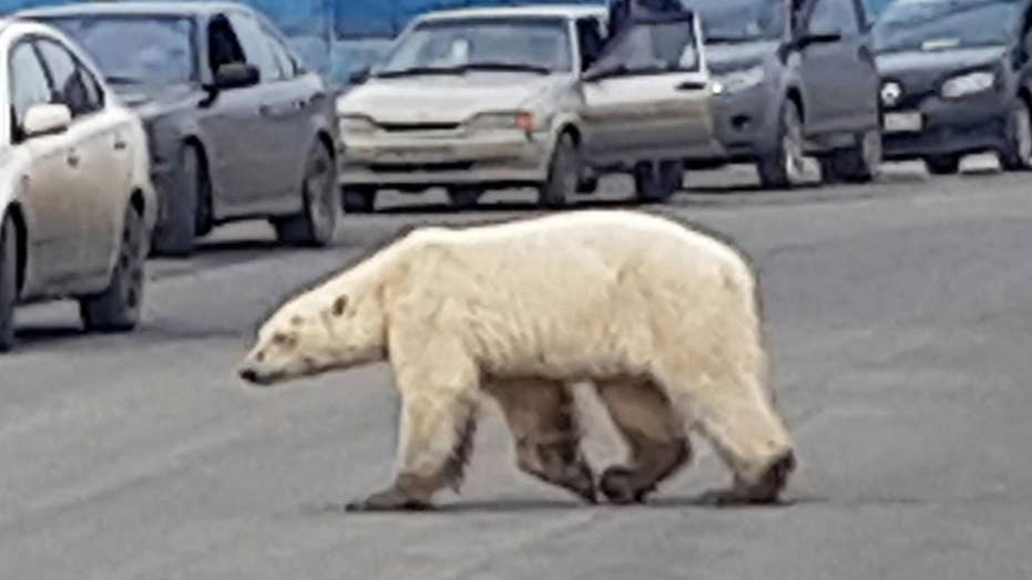 Emaciated frigid bear speckled in Russian city