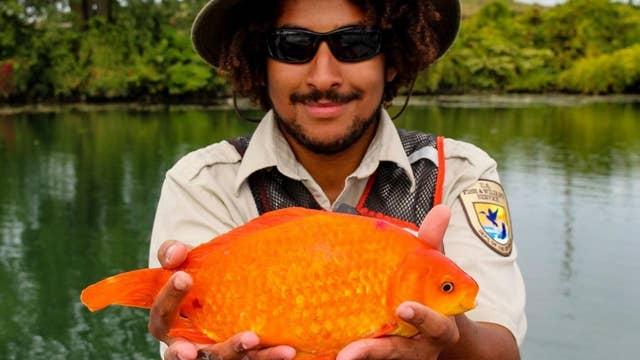 Giant goldfish caught in Niagara River