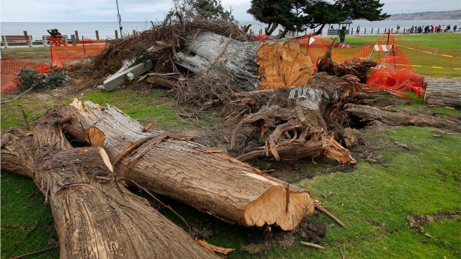 California 'Lorax' tree sparks investigation after mysterious fall