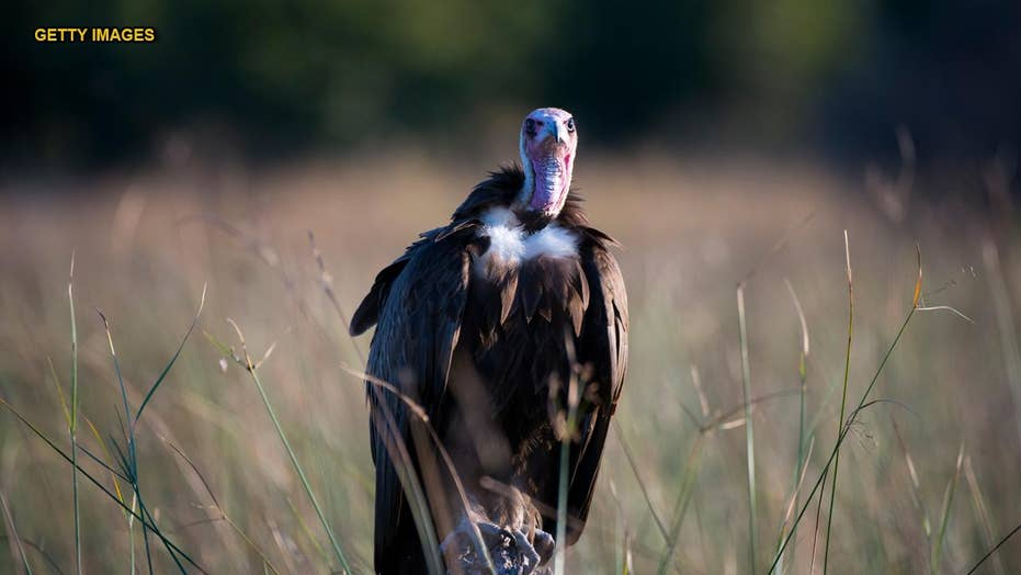 More than 500 critically endangered vultures poisoned in mystery massacre