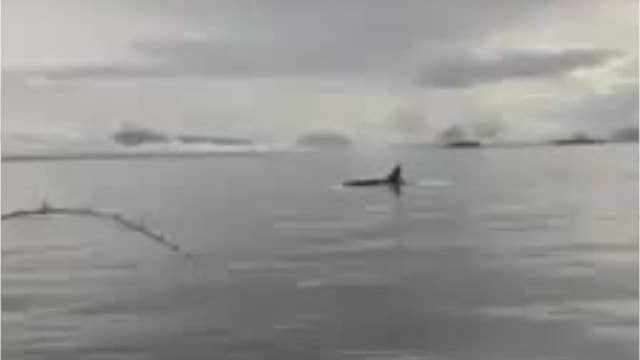 Killer Whale filmed stealing fisherman's salmon right off the line