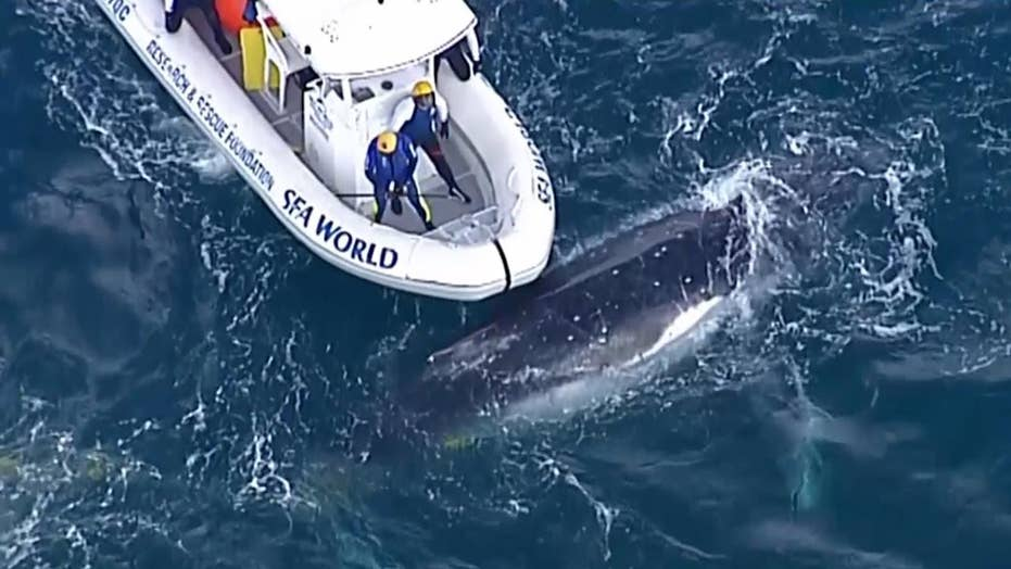 Crew frees humpback whale trapped in shark net off Australian coast
