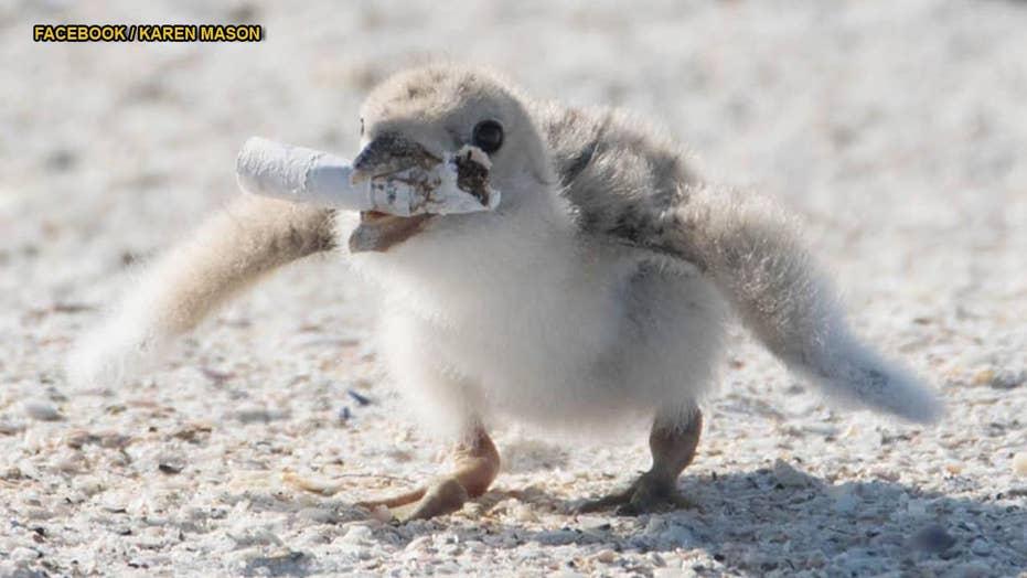 Bird feeds chick used cigarette on Florida beach
