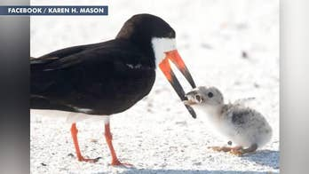 Image of seabird feeding cigarette butt to chick goes viral