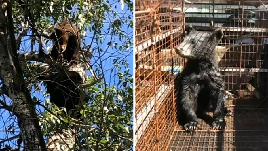 Orphaned bear cubs captured after their mother died, off to rehab
