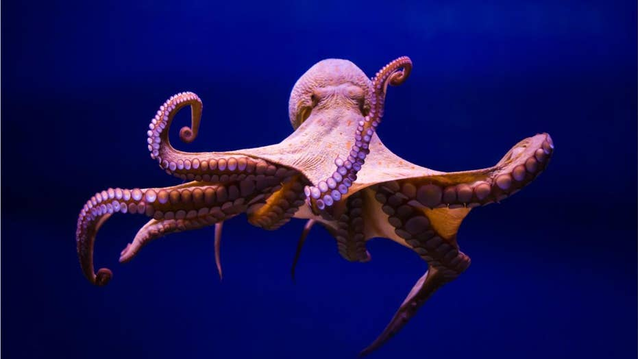 Researchers say octopuses hold key to understanding aliens