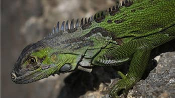 Florida encourages homeowners to kill green iguanas 'on their own property'