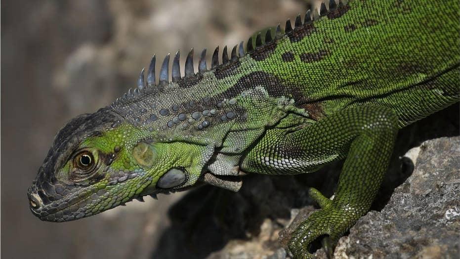 Florida encourages homeowners to kill green iguanas 'on their own property'