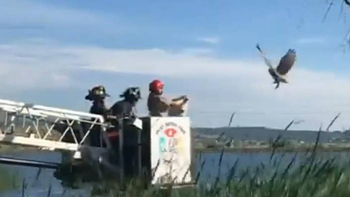 Watch firefighters save great horned owl trapped in fishing line