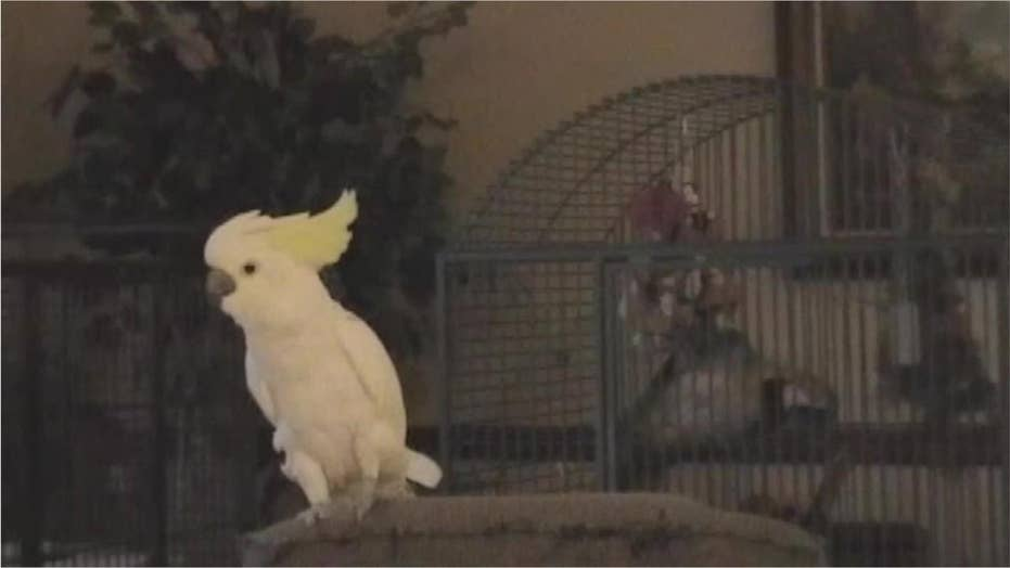 Watch: Dancing, head-banging cockatoo busts out stone moves