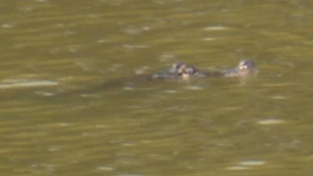 Alligator spotted in Chicago lagoon