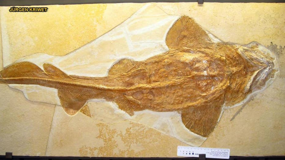 Megalodon, good white forerunner discovered: Unassuming shark lived 165M years ago