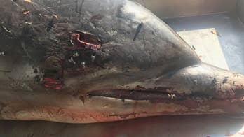 GRAPHIC IMAGES: Florida dolphin spearing death spurs $38G reward