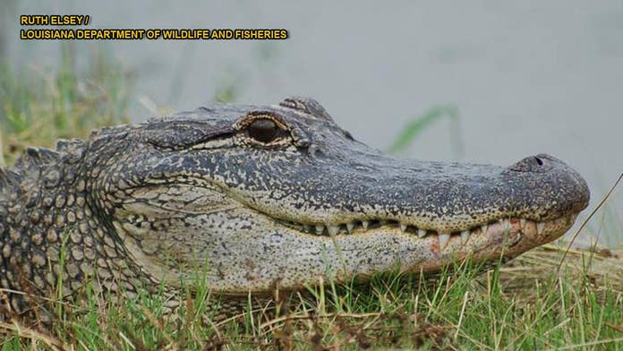 'Feisty' alligator in Oklahoma dies of 'severe reproductive infection,' zoo says