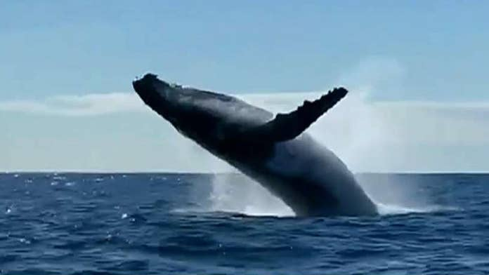 Double whale breach off Australia coast thrills tourists 'within meters' of scene